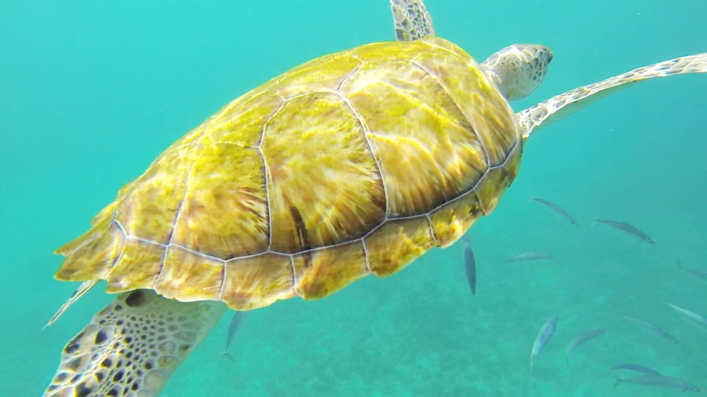 A wild sea turtle off the coast of Barbados