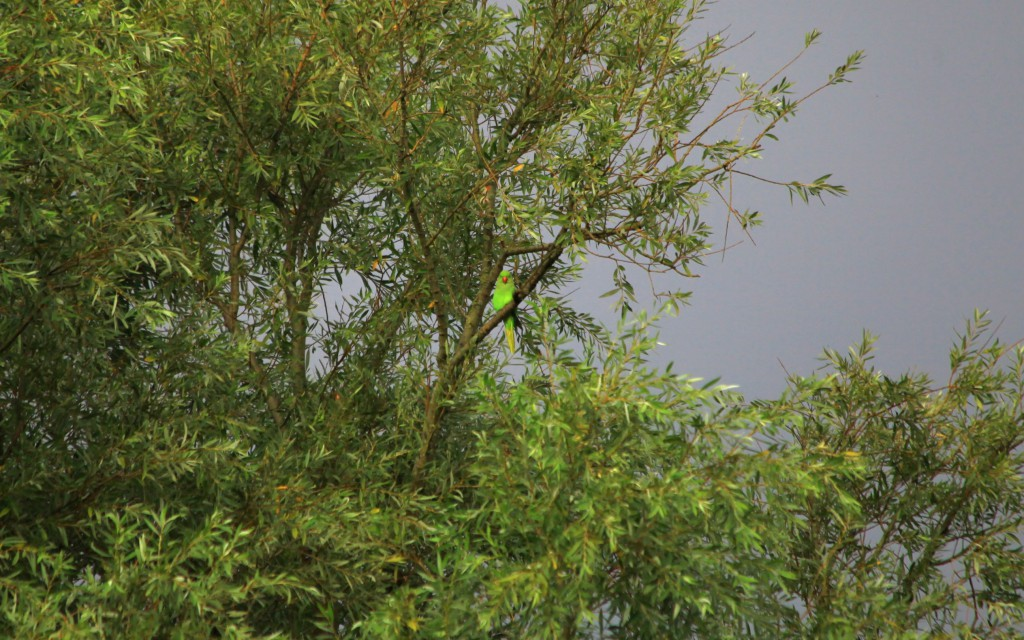 A Rose-ringed Parakeet perched on a branch